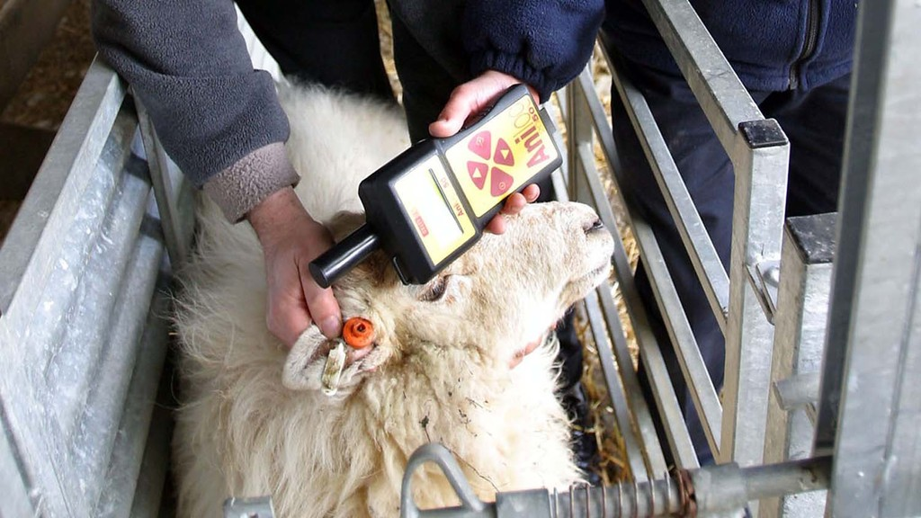 Electronic tags (EID): Double-tag your historic sheep flocks before January 2015