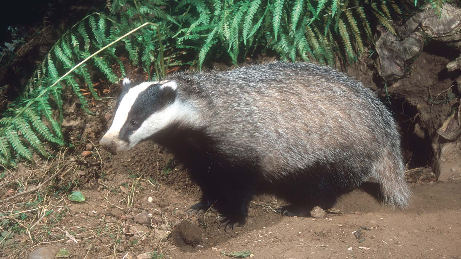 Badgers and cattle rarely have direct contact, says study