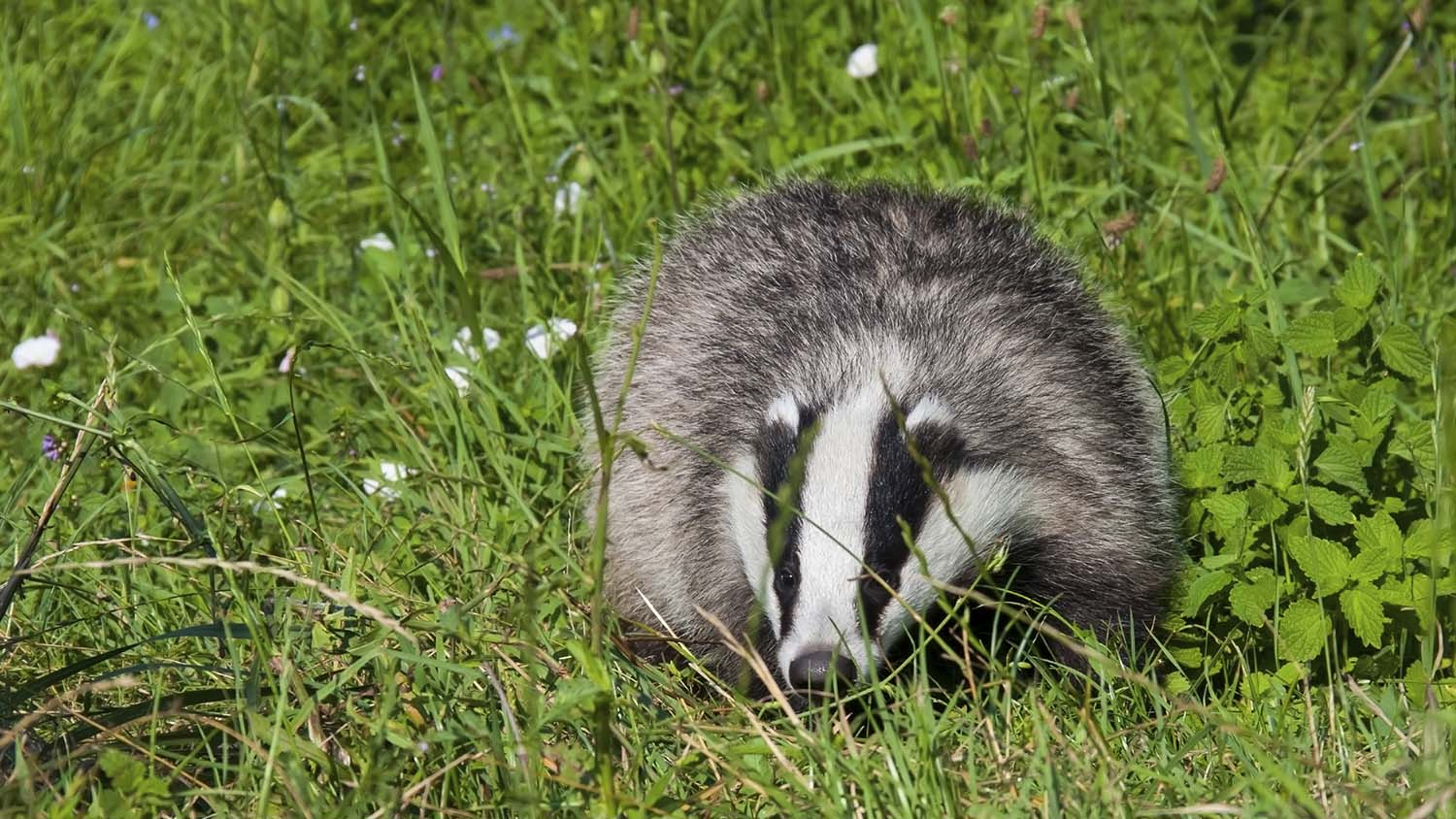Labour would abandon 'failed' badger cull pilots
