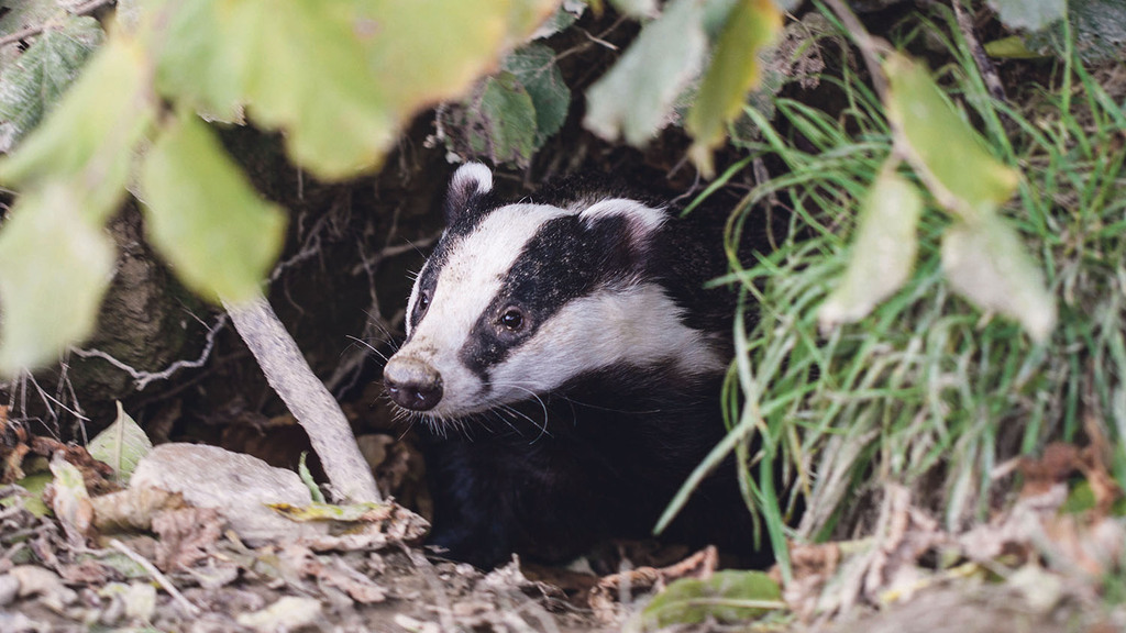 Badger culls will be independently monitored - Eustice