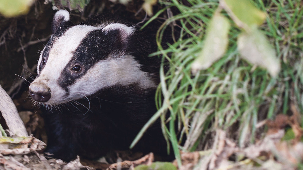 """Badgers will be made extinct by culling"""