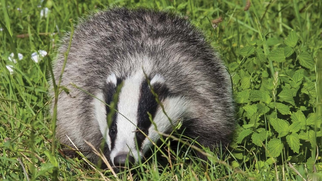 Second year of badger culling underway in pilot areas