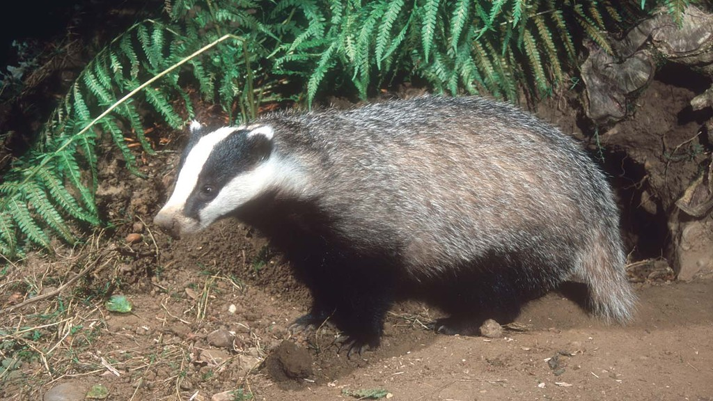 Badger cull figures 2015