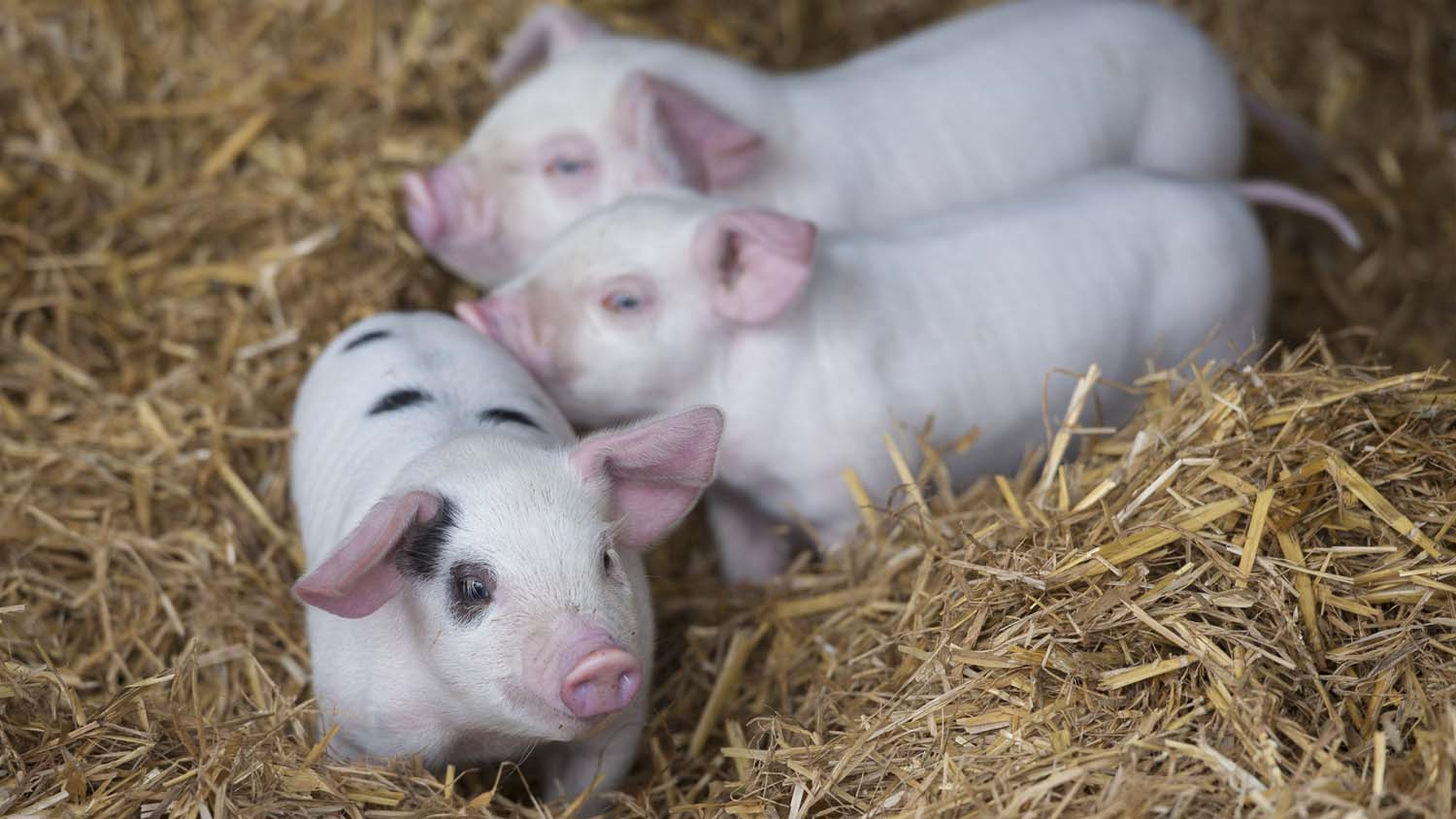Activists hit out at school's pig farm project over 'animal exploitation'