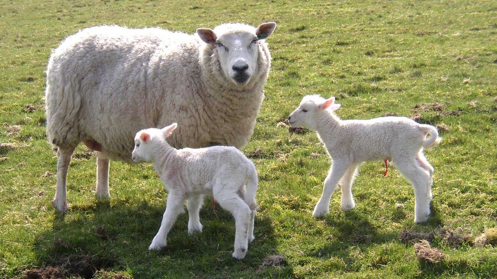 Sheep & lambing special: Achieving a trouble-free lambing season