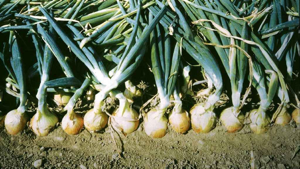 Onion harvest expected to be down by 25%