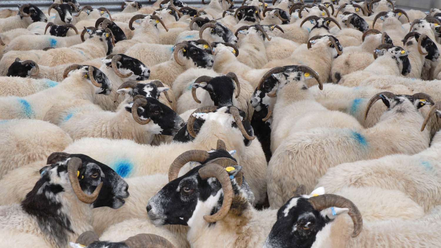Police appeal: 134 sheep worth almost £10,000 stolen from farm