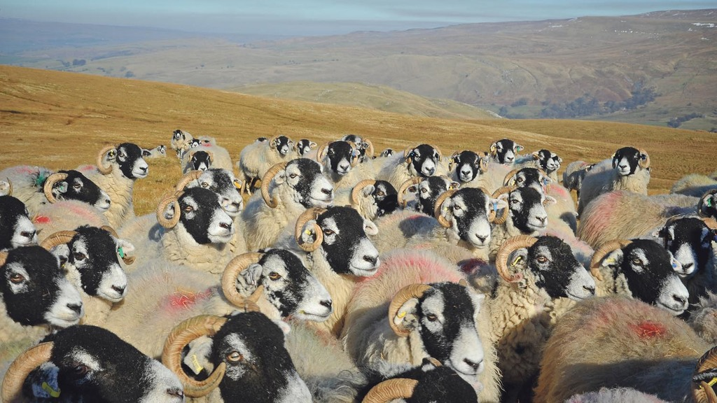 Early verdict on the new sheep recording database