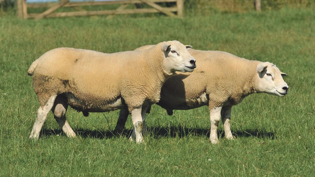 RamCompare project to boost sheep industry genetic improvement