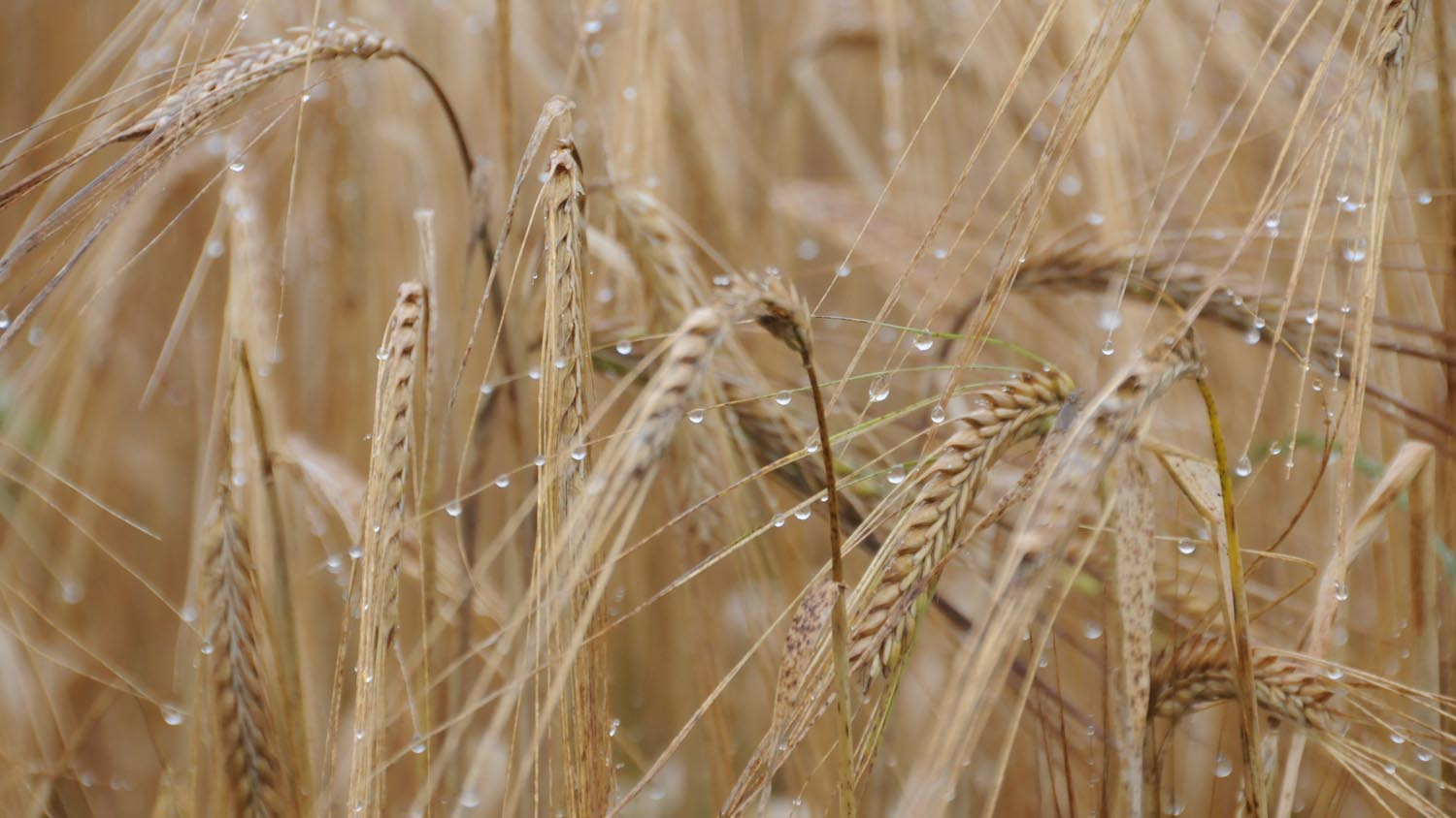 Chinese export deal to boost UK barley industry