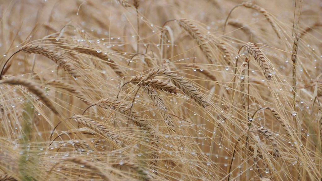 Harvest 2019: 'Inevitable losses' as wet weather blights Scotland