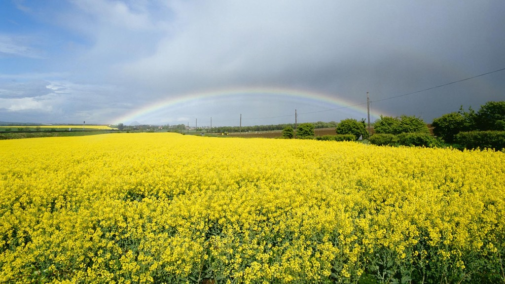 Oilseed rape plantings lowest for 13 years