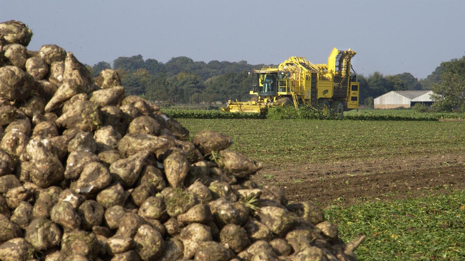 'Bigger than expected' beet crop prolongs campaign