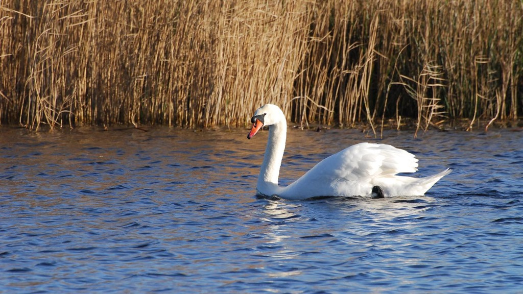 AVIAN FLU LATEST: First NI bird flu case confirmed in dead swan