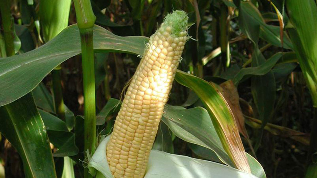 Maize Matters 2014: Fantastic year for maize – time to plan for 2015