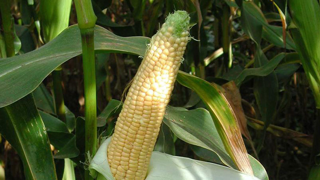 Handy Hints: Know your options when it comes to forage crops