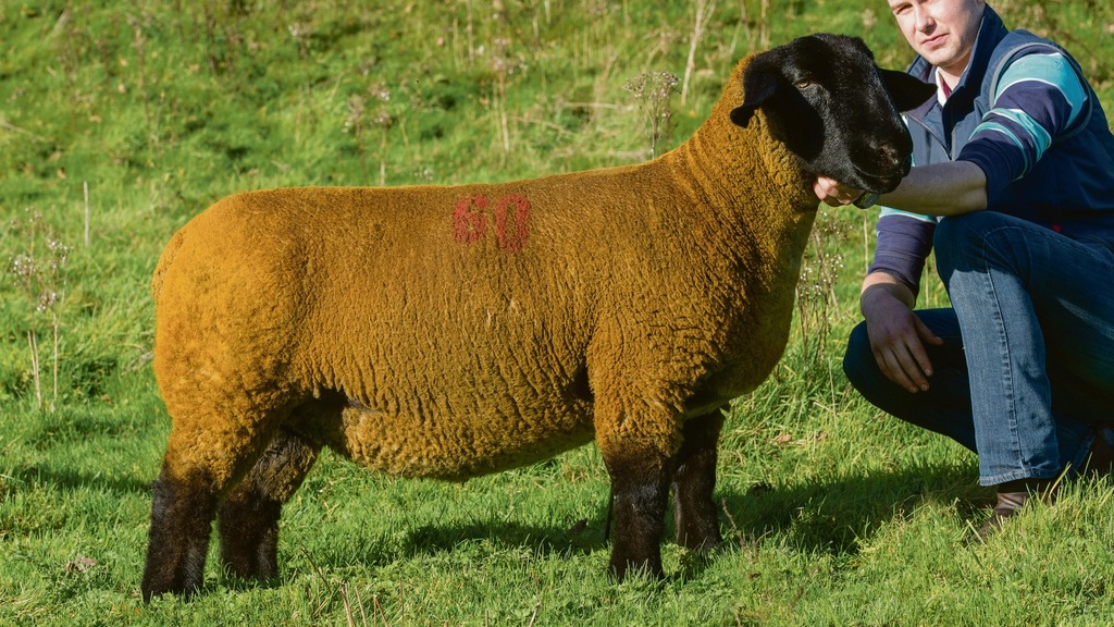 Suffolks sell to 4,000gns twice at Beeston Castle
