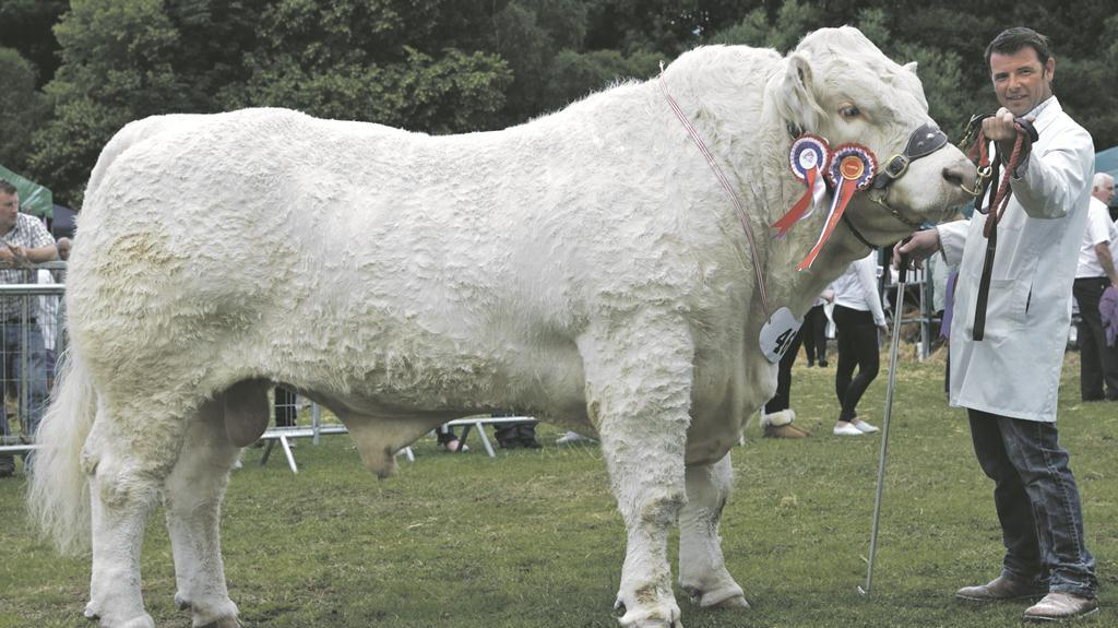 Inter-breed beef Turriff