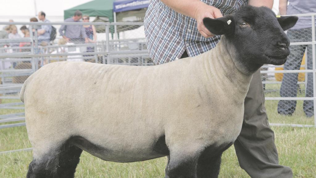 Inter-breed sheep at Turriff