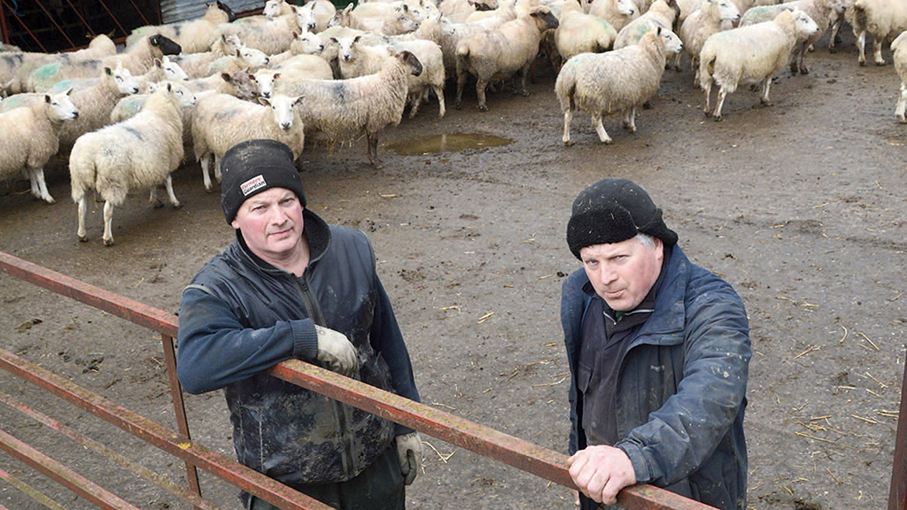 Controlling enzootic abortion in your flock