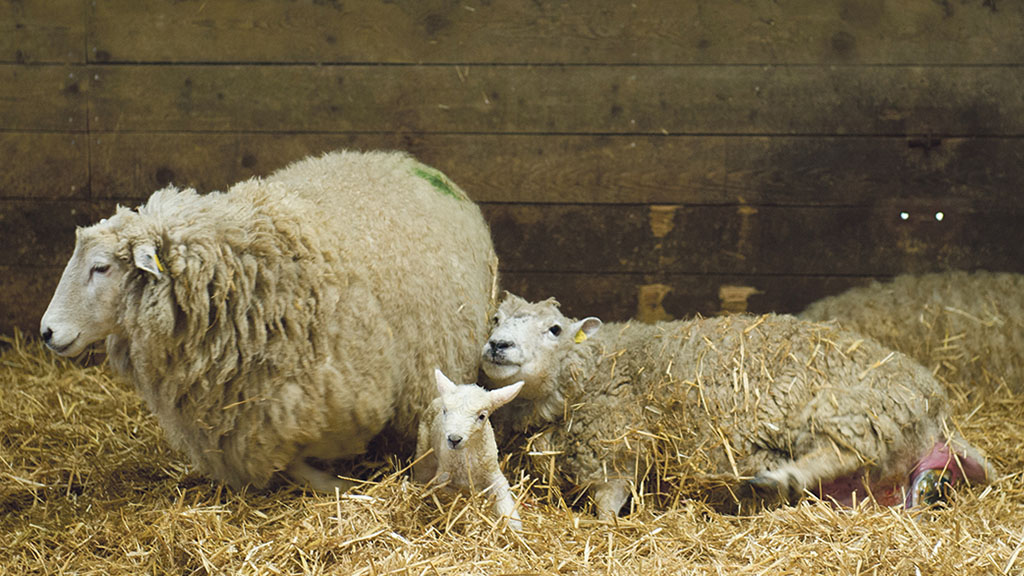 Controlling an enzootic abortion storm at lambing time