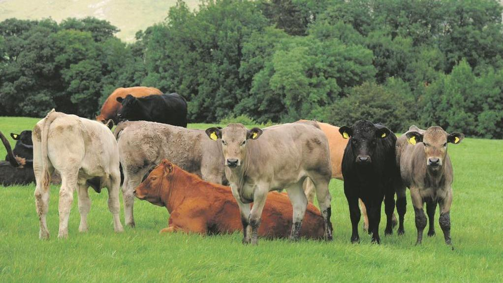 Cows reductions and therefore boosted margins are two of the benefits of working on tightening calving intervals in beef herds