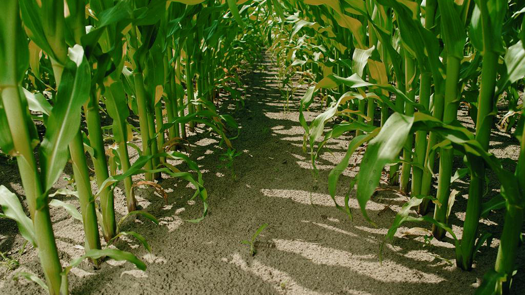 Maize Matters: Making maize great in 2015