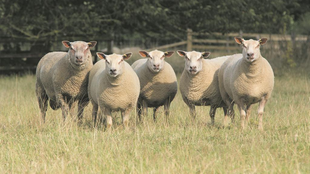 Farmer installs CCTV to protect valuable Swiss sheep