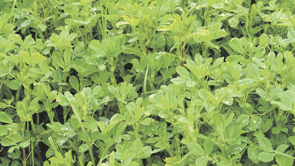 Lucerne as a long-term alternative protein source