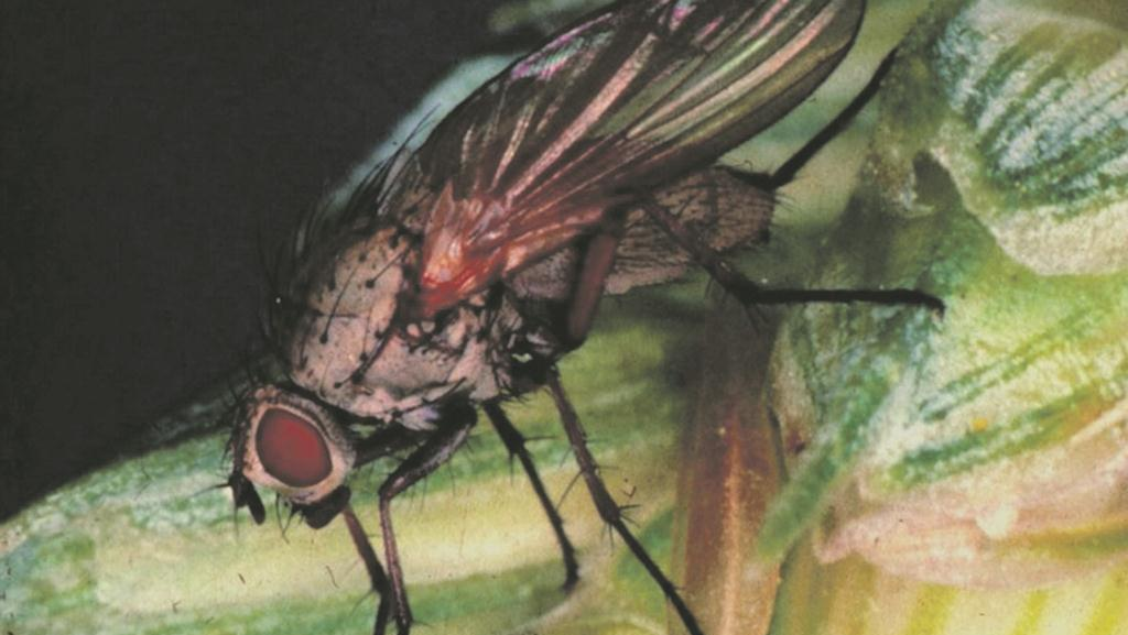Wheat bulb fly threat highest since 2012/13?