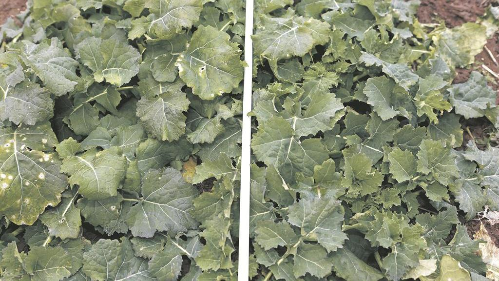 Phoma-free untreated Fencer (right)