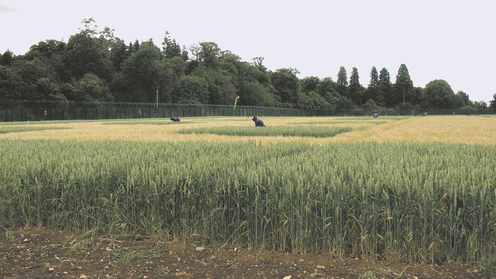 Rothamstead Wheat trials