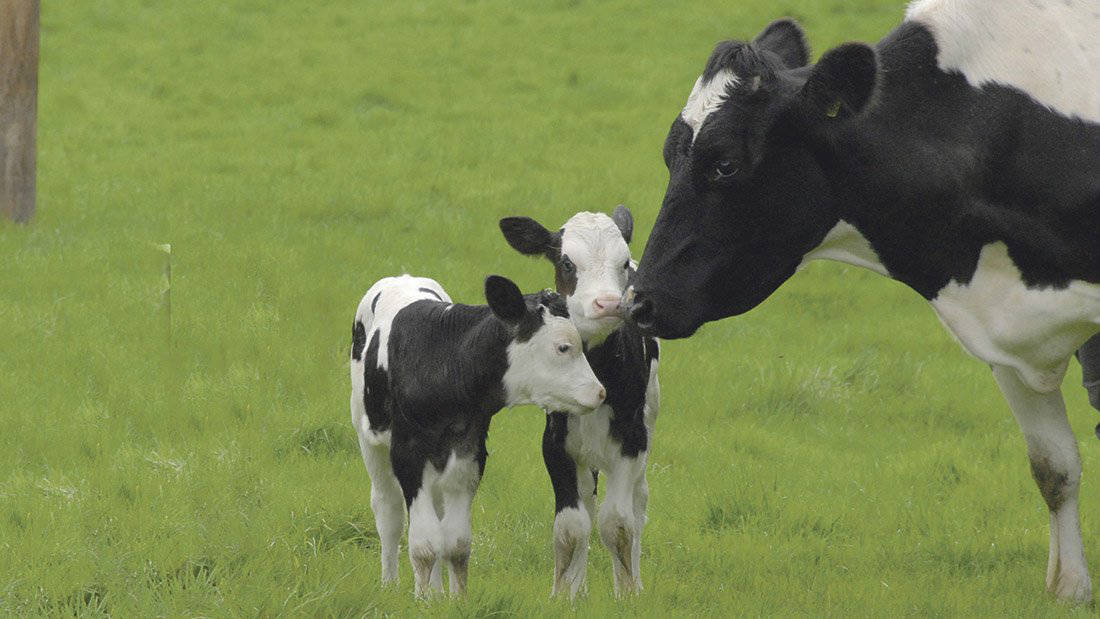 Tips to manage twin-bearing cows as high numbers reported this year