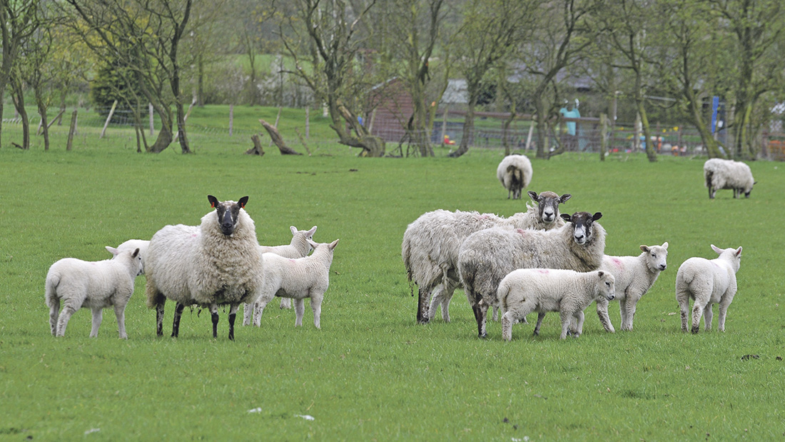 As breeding ewes are being bought, some precautions can be taken to keep on top of flock health.