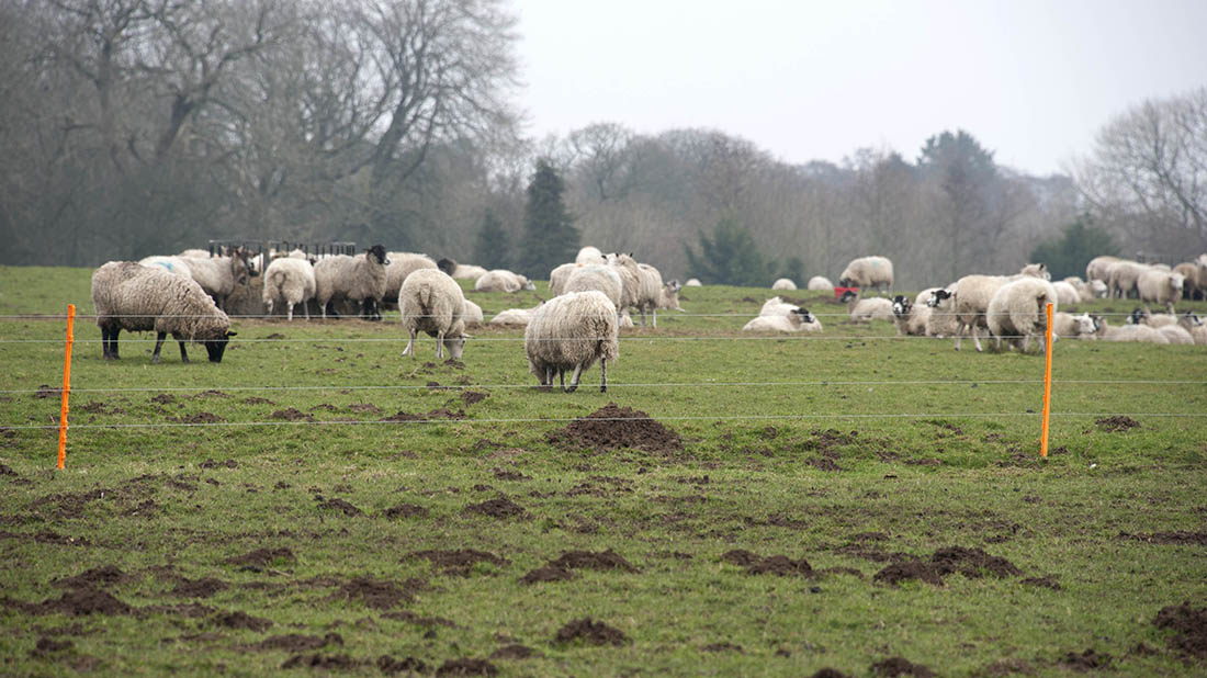 How To Use Electric Fences With Sheep Insights Farmers
