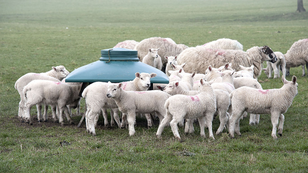 Lamb nutrition at weaning, getting it right