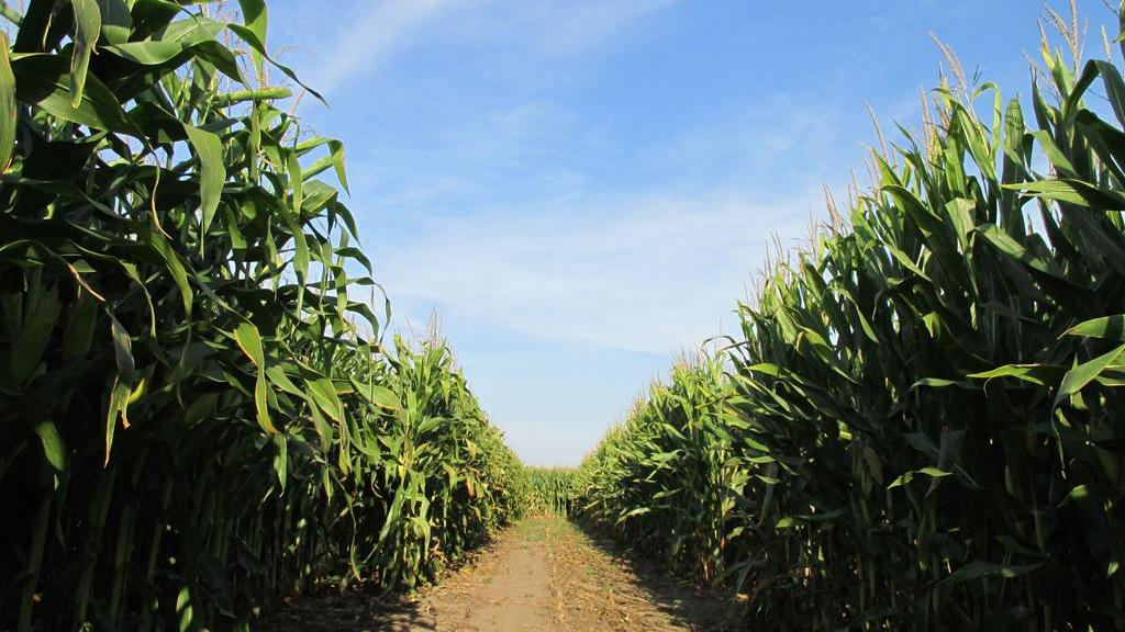 Maize Matters: KWS offers monthly guidance on maximising success throughout the maize growing season