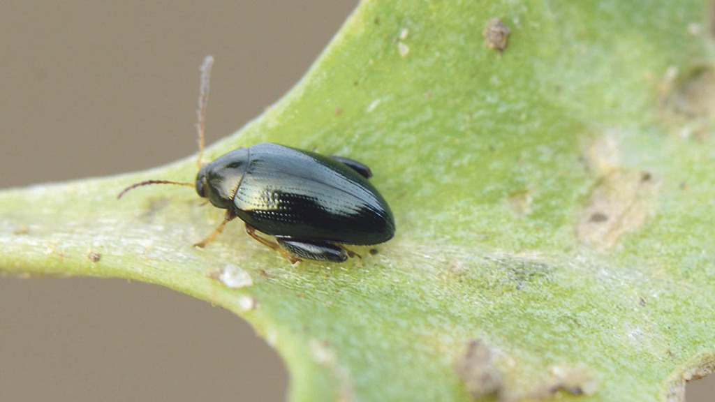 Hot spell causes explosion in flea beetle numbers