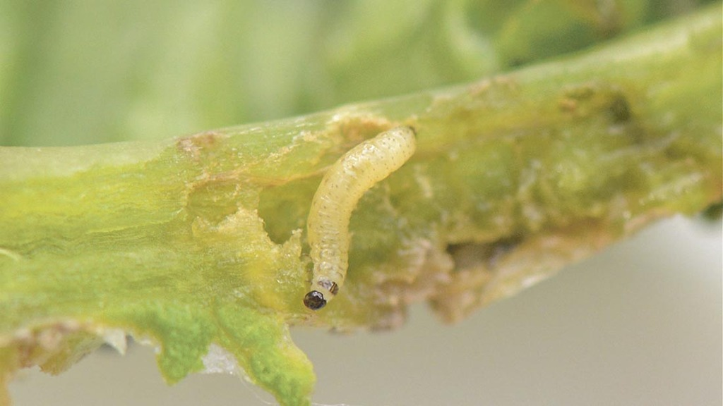 Survey highlights CSFB larvae threat to oilseed rape