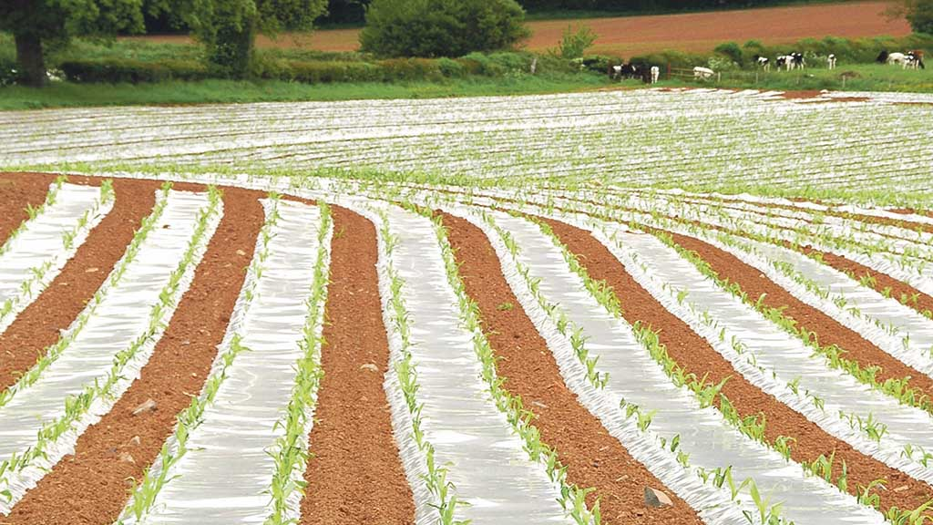 Maize Matters: Benefits of growing maize under plastic