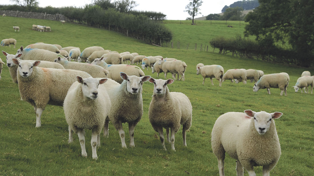 Lamb prices have been aided by a number of positive factors in recent weeks