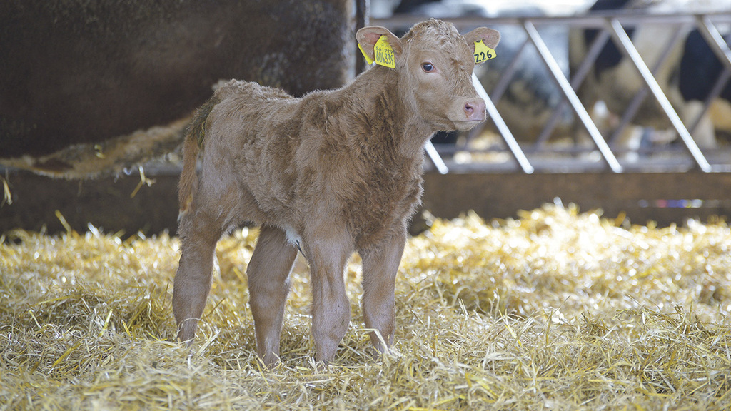 Calves are creep fed from the end of June and sold in October