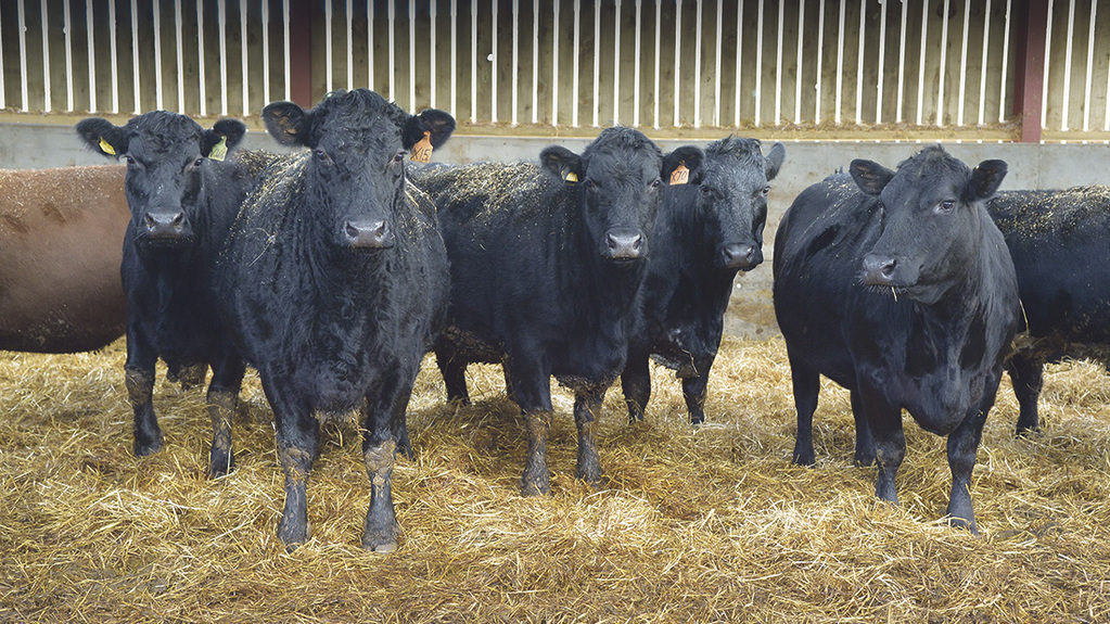 In-calf Aberdeen-Angus cows