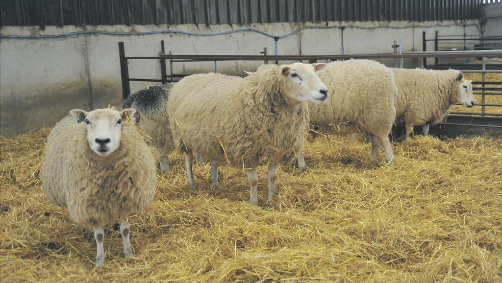 Barren ewe tests reveal hidden disease