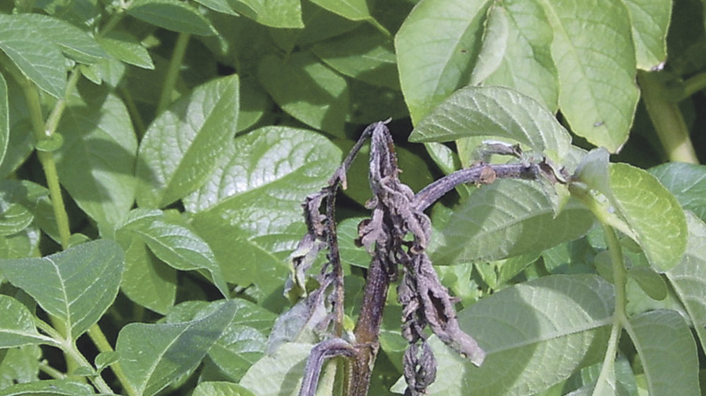 EuroBlight monitoring reveals new potato blight pathogen 'map'