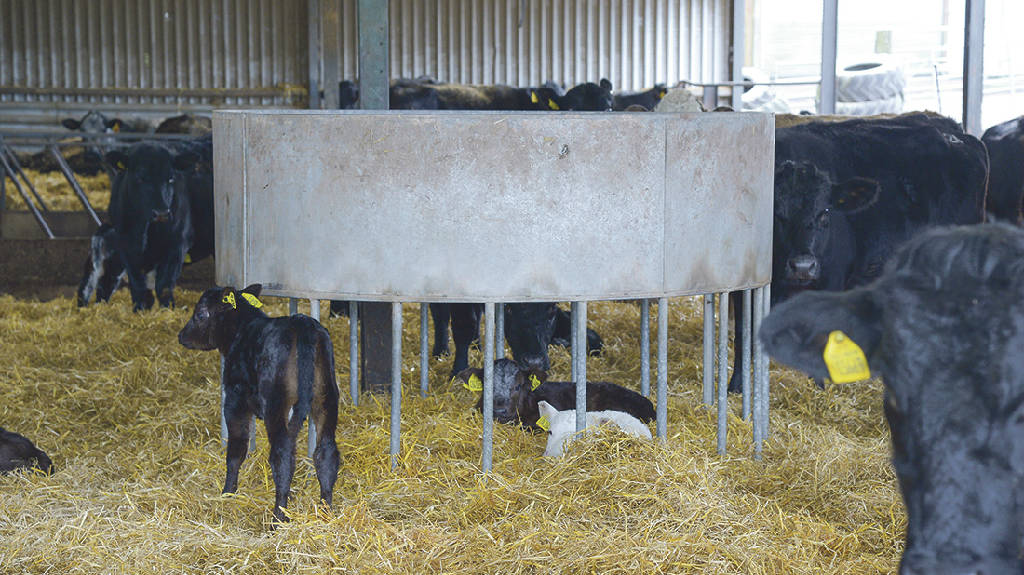 Ian's improvised calf den provides safety for the herd's calves