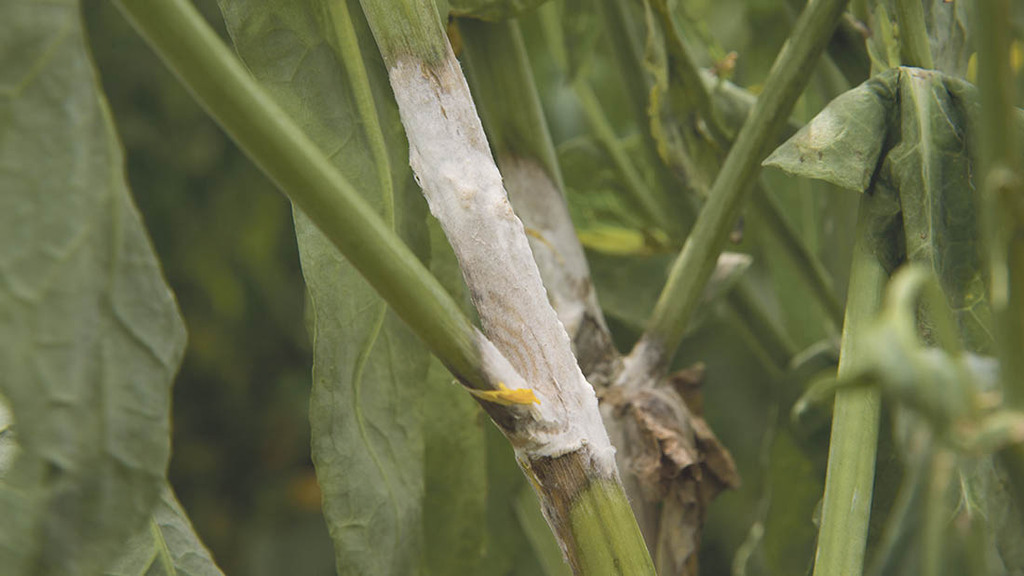 CSFB damage could leave OSR more vulnerable to sclerotinia