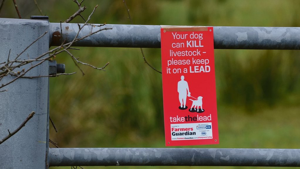 Man charged and dogs 'destroyed' after 37 lambs killed in savage attack