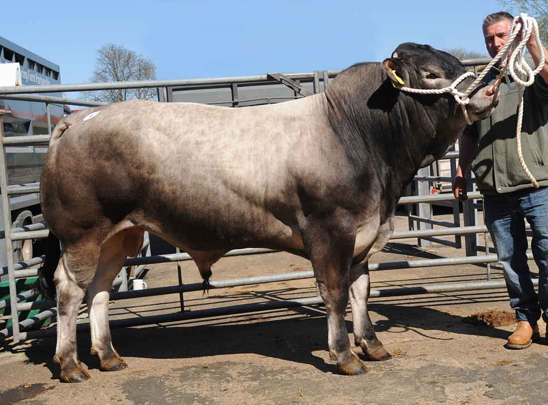 Breeds like the Bazadaise could miss out following new legislation as of November 1.