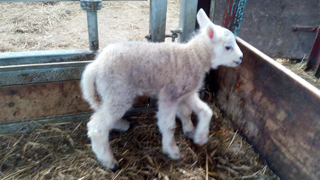 Sheep gives birth to lamb with five legs